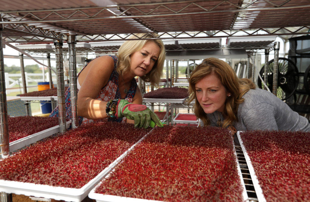 Hayli Eitel, left, and Shannon McLinden discuss the Micro Garnet Amaranth plants in the greenhouse at Farmhouse Fresh Farm in McKinney, TX, on Aug. 7, 2017. (Jason Janik/Special Contributor)